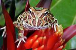 Argentinian Horned Frog, Ceratophrys sp.,