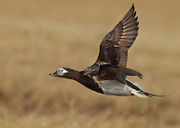Long-tailed duck drake in summer plumage flying over the Alaskan tundra.<br />