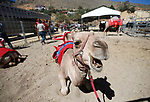 Crews prepare for the start of the 59th Annual International Camel &amp; Ostrich Races in Virginia City, Nev., on Friday, Sept. 7, 2018. <br /> Photo by Cathleen Allison/Nevada Momentum
