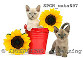 Xavier, ANIMALS, cats, photos, SPCHCATS697,#A# Katzen, gatos