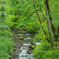 Creek and Red Alder trees, Snoqualmie River Valley, Washington