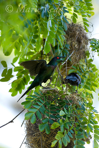 Metallic (=Shining) Starlings (Aplonis metallica) pair at nest colony with male (L) displaying, Tully, Queensland, Australia