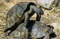 Breitrandschildkröte, Paarung, Kopulation, Kopula, Breitrand-Schildkröte, Schildkröte, Landschildkröte, Testudo marginata, margined tortoise, marginated tortoise