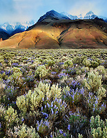 Sun peaking through on Steens Mountain with lupine wildflowers. Oregon