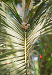 Inca dove, Columbina inca, on its nest in a palm frond near Tarcoles, Costa Rica