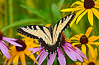 Tiger Swallowtail butterfly, Pterourus glaucus on Purple Coneflower, Echinacea purpurea, Louisville, Kentucky