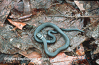 02810-001.08 (Dupe) Ring-necked Snake (Diadophis punctatus)    IL