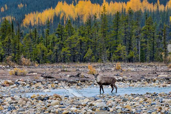 Woodland Caribou or mountain caribou (Rangifer tarandus caribou) bull wading in mountain stream, Northern Rocky Mountains,  British Columbia.  Fall.