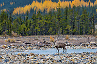 Woodland Caribou or mountain caribou (Rangifer tarandus caribou) bull wading in mountain stream, Northern Rocky Mountains,  British Columbia.  Fall.