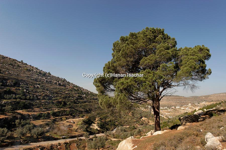 Judea, Pine tree (Pinus Pinea) in Ein Kinia