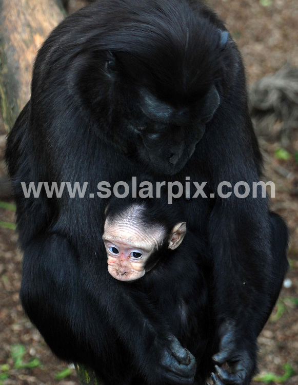 **ALL ROUND PICTURES FROM SOLARPIX.COM**                                             **NO UK NEWSPAPER PUBLICATION PERMITTED** . ** NO PUBLICATION IN AUSTRALIA, BELGIUM, FRANCE, GERMANY, ITALY, SCANDINAVIA AND USA**                                                                                  Measuring only five inches tall, with piercing blue eyes, ZSL London Zoos newest baby has arrived just in time for Mothers Day. ..Keepers at the Zoo were delighted when mum Wino (pronounced Win-oo), and dad Gaston, a pair of endangered Sulawesi crested macaques, welcomed the mini-monkey last month. ..The baby boy is already starting to show signs of independence, and his keepers have named him Wira, which translates as hero in Indonesian, to reflect his feisty personality. ..Zookeeper Kathryn Sanders said: Blue-eyed baby Wira is an adorable new member of the macaque group here at ZSL London Zoo, and mum Wino is doting on her baby...Big sisters Snazzy and Maluku are helping out with babysitting duties, so Im sure Wino will get a bit of a lie-in on Mothers Day...Born with bright blue eyes and pale skin, Wiras features will get darker with age, his eyes will turn brown and hell also develop the macaques iconic crest of hair on his head...Baby Wira is an important addition to the European breeding programme for endangered species (EEP) as Sulawesi crested macaques are under constant threat in the wild from habitat loss and poaching..JOB REF:    14574    SFE       DATE:   16.03.12                                                         **MUST CREDIT SOLARPIX.COM OR DOUBLE FEE WILL BE CHARGED**                                                                      **MUST AGREE FEE BEFORE ONLINE USAGE**                               **CALL US ON: +34 952 811 768 or LOW RATE FROM UK 0844 617 7637**