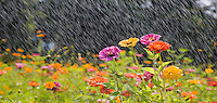 Summer Rain, Wildflower Meadow, New Jersey