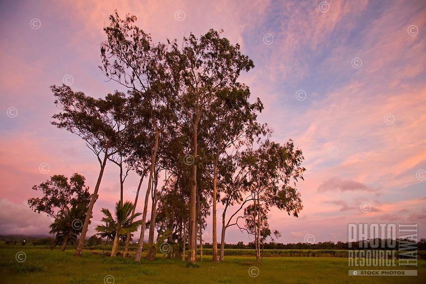 Eucalyptus and palm tree grove surrounding  sacred Kukaniloko Birth Stones, where Ali'i gave birth, near Wahiawa, Central Oahu