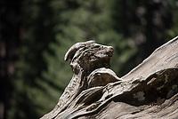 Mammutbaeume im Kalifornischen Sequoia National Park.<br /> 6.6.2017, Sequoia National Park<br /> Copyright: Christian-Ditsch.de<br /> [Inhaltsveraendernde Manipulation des Fotos nur nach ausdruecklicher Genehmigung des Fotografen. Vereinbarungen ueber Abtretung von Persoenlichkeitsrechten/Model Release der abgebildeten Person/Personen liegen nicht vor. NO MODEL RELEASE! Nur fuer Redaktionelle Zwecke. Don't publish without copyright Christian-Ditsch.de, Veroeffentlichung nur mit Fotografennennung, sowie gegen Honorar, MwSt. und Beleg. Konto: I N G - D i B a, IBAN DE58500105175400192269, BIC INGDDEFFXXX, Kontakt: post@christian-ditsch.de<br /> Bei der Bearbeitung der Dateiinformationen darf die Urheberkennzeichnung in den EXIF- und  IPTC-Daten nicht entfernt werden, diese sind in digitalen Medien nach §95c UrhG rechtlich geschuetzt. Der Urhebervermerk wird gemaess §13 UrhG verlangt.]