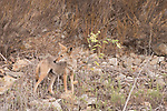 Lake Hodges, Escondido, San Diego, California; a Coyote standing on the hillside above the lake in early morning light