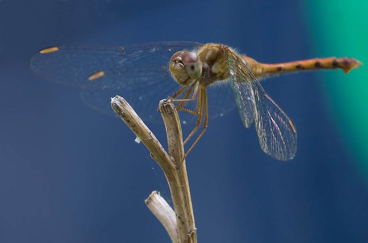 Dragonfly - Anisoptera