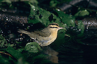 Worm-eating Warbler, Helmitheros vermivora, adult bathing, High Island, Texas, USA, April 2001