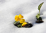 Yellow pansy in snow Castle Rock Colorado, Colorado, US State of Colorado, Rocky Mountain region,  Pikes peak, Colorado Springs,  Coloradans, State of Colorado, Colorado, Rocky Mountain region, Southwestern Region of USA, Coloradan, Colorado, CO, Photography history, Stock Photography, Fine Art Photography, Fine Art Photography by Ron Bennett, Fine Art, Fine Art photography, Art Photography, Copyright RonBennettPhotography.com ©