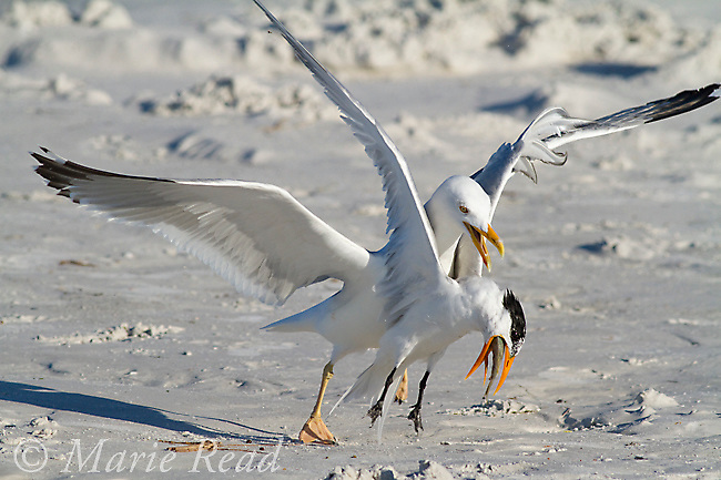 Herring Gull (Larus argentatus) attacking and attempting to steal fish from Royal Tern (Sterna maxima), Fort DeSoto Park, Florida, USA