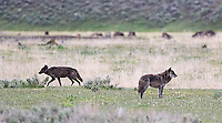 Lamar Canyon wolf pack alpha male Twin and alpha female 926F (collared).