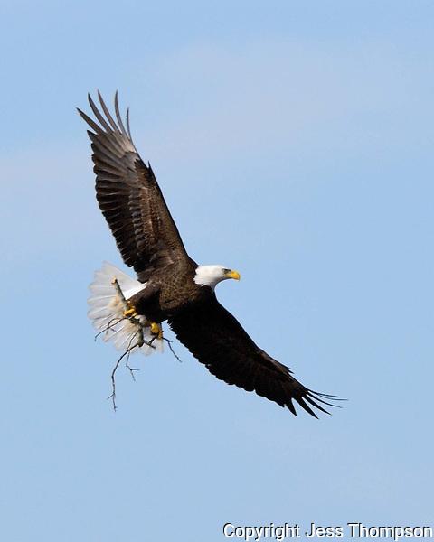 Bald Eagle brings a limb for nest rebuilding in Llano, TX