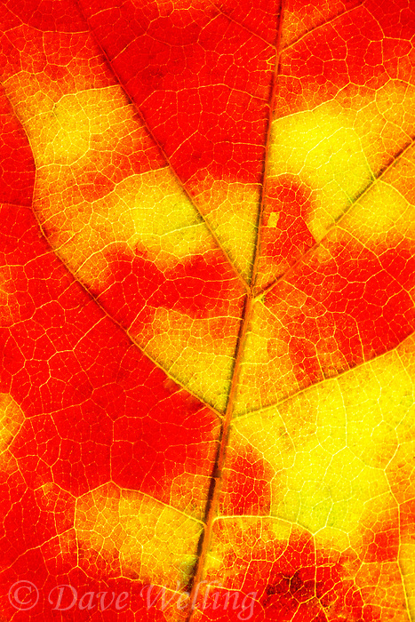 745356010 detail color and vein structure in a maple leaf decked ou in brilliant yellow and red autumn colors in the upper peninsula of michigan