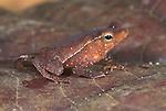 Dead leaf Toad, Bufo margaritifer complex, Iquitos, Peru, jungle, nocturnal, small, diurnal forest floor, camouflage, mimicking dead leaves, feeds mainly on ants. .South America....
