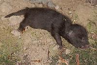 Marderhund, frisch geborenes Jungtier, Junges, Welpe, Marder-Hund, Enok, Seefuchs, Tierbabies, Tierbabys, Tierbaby, Nyctereutes procyonoides, raccoon dog, Chien viverrin