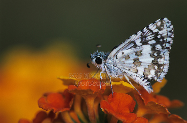 White Checkered Skipper, Pyrgus albescens, adult on Texas Lantana (Lantana urticoides) , Starr County, Rio Grande Valley, Texas, USA, May 2002