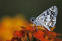 White Checkered Skipper, Pyrgus albescens, adult on Texas Lantana (Lantana urticoides) , Starr County, Rio Grande Valley, Texas, USA, May 2002