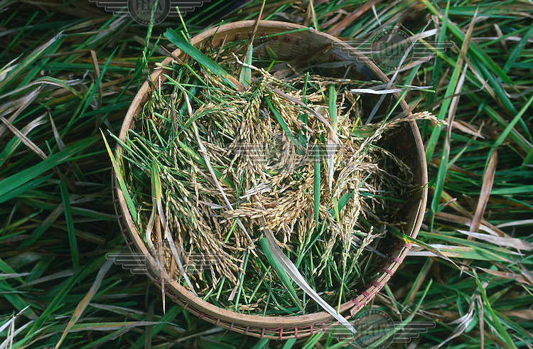 Indonesia, Java, Borobudur..Agriculture. freshly harvested rice in basket...©Mark Henley
