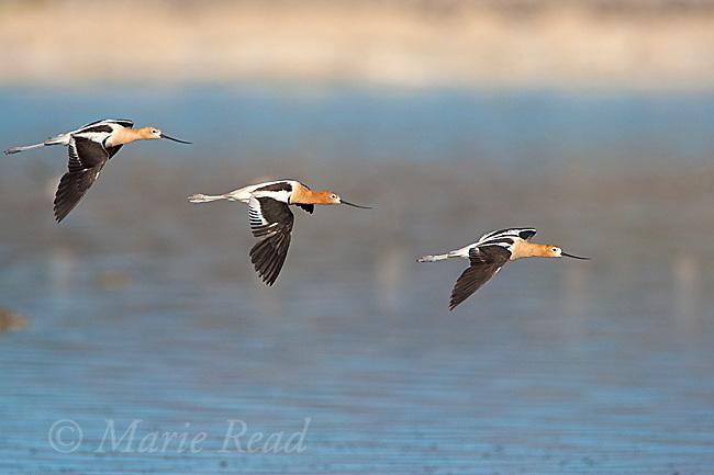 American Avocets (Recurvirostra americana) group of three in flight, Mono Lake, California, USA