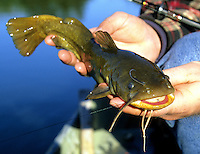 Bullhead Catfish