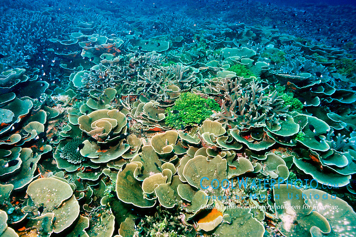 colonies of leaf coral, Turbinaria .reniformis, and staghorn coral, Acropora .sp., Paradise Pinnacle, Biak Island, .Irian Jaya, Indonesia (Pacific).