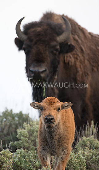 A bison cow and calf photographed in Yellowstone.