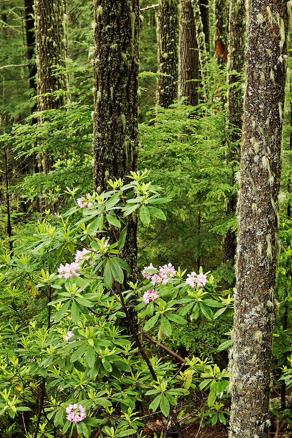Pacific rhododendrons blooming in forest, Mount Walker, Quilcene, Jefferson County, Washington, USA