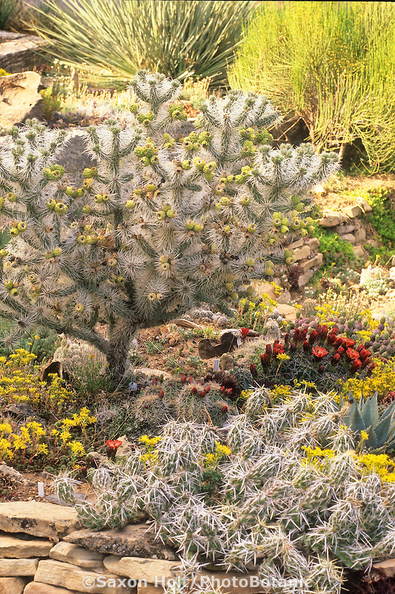 Don Cambell cactus garden Grand Junction Colorado with Cylindropuntia whipplei