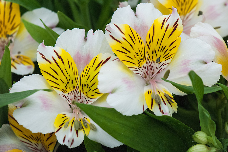 Alstroemeria 'Inca Smile' ('Koncasmile'), shortlisted for Plant of the Year at the RHS Chelsea Flower Show, 2014.