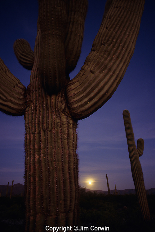 Sunset with moonise behind Saguaro Cactus in desert Southwest just west of Buckeye, Arizona