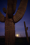 Sunset with moonise behind Saguaro Cactus in desert Southwest just west of Buckeye, Arizona