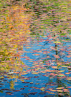 Fall colored water shields and lily pads and forest reflections fill the view at Big Island Lake in the Hiwatha National Forest in Schoolcraft County, Upper Peninsula, Michigan