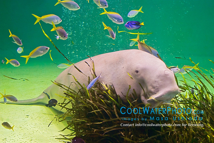 dugong, Dugong dugong, feeding seagrass, and various tropical reef fish, Indo-Pacific Ocean (c)