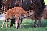 Nursing Bison Calf, Yellowstone National Park