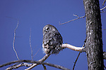 Great gray owl, Strix nebulosa<br />