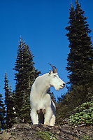 Mountain goat billy, Pacific N.W., Summer