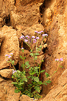 Phacelia in the Black Mountains, Death Valley National Park, California
