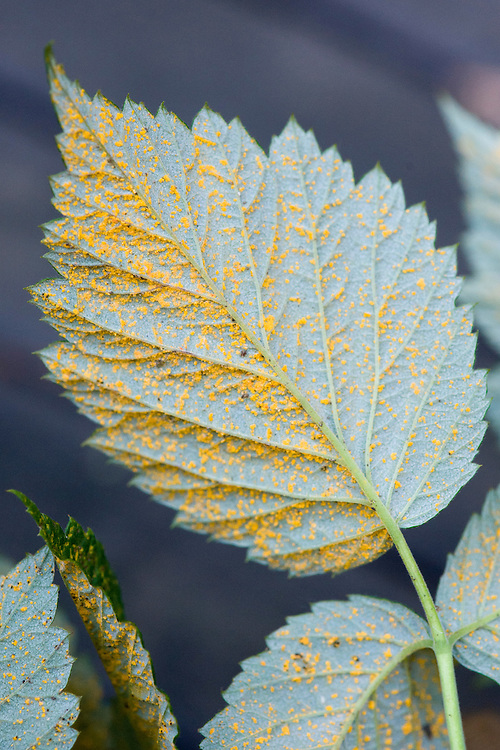 Orange urediniospore pustules of raspberry rust (Phragmidium rubi-idaei) on the underside of a leaf, mid October.