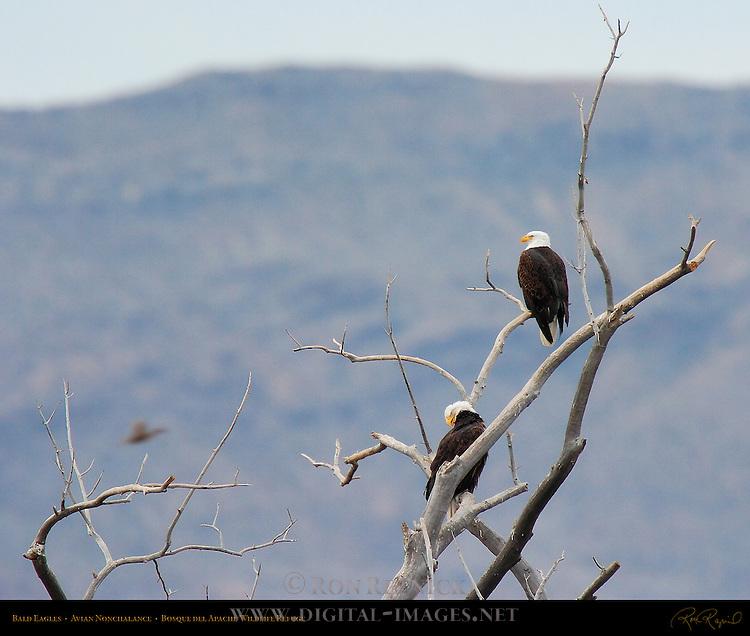 Bald Eagles, Avian Nonchalance, Bosque del Apache Wildlife Refuge, New Mexico