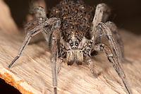 Schwarzbäuchige Tarantel, Weibchen mit Jungtieren, Jungspinnen auf dem Rücken, Hogna radiata, syn. Lycosa radiata, syn. Tarentula balearica, False tarantula, Tarentule radiée, Fausse tarentule, Hogna rayée, Taranteln, Wolfspinnen, Wolfsspinnen, Lycosidae, wolf-spider, wolfspider, wolf spiders, ground spiders, Korsika