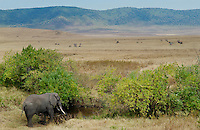 Elephant going to drink in the Ngorongoro Crater, Tanzania